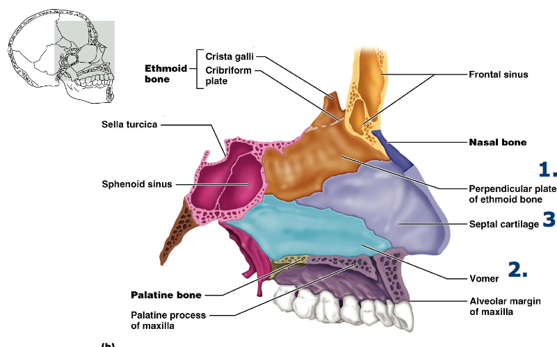 Netter Lateral Wall Of Nasal Cavity Google Search Anatomy