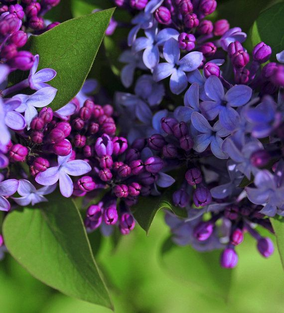 Lilacs Photo Spring Wall Art Purple Flower Photo Lavender Magenta Photo Floral Art Flower Photography Bedroom Wall Art Morning Lilac Purple Flowers Lilac Tree Purple Flower Photos