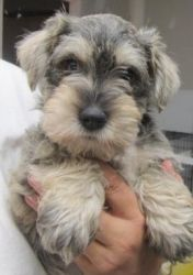 Schnoodle 1 is an adoptable Schnauzer Dog in Kansas City