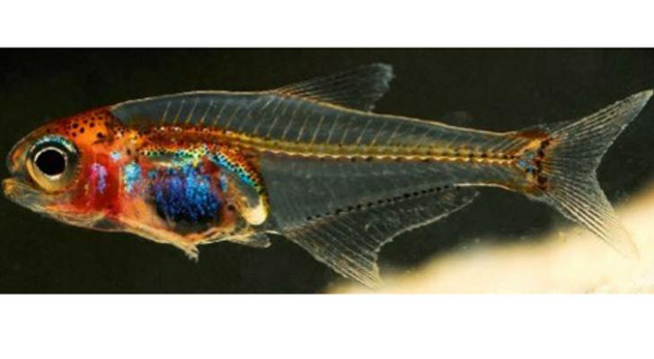 transparent fish Animal tatoos, Animals, Transparent fish
