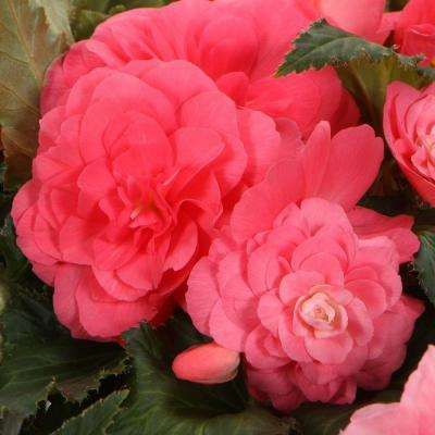Proven Selecctions Nonstop Pink Tuberous Begonia Live Plant Pink Flowers 4 25 In Grande My Beautiful Begonia Lok Tuberous Begonia Begonia Annual Plants