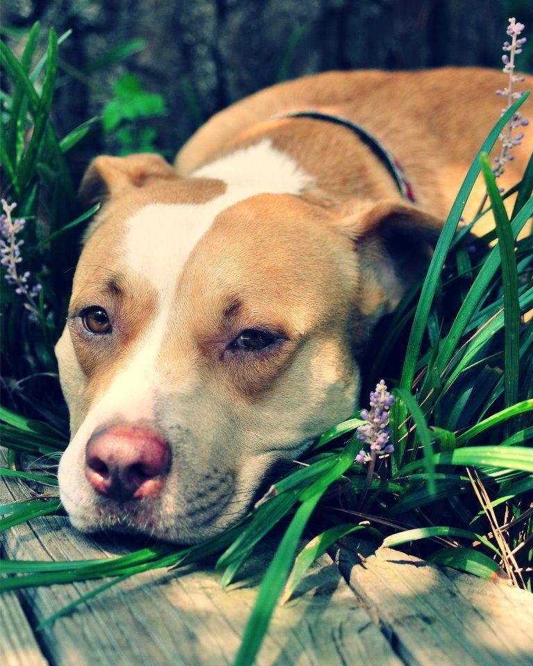 #pitbull #pitbulldog #pitbulls #pitbulldad #pitbullmom