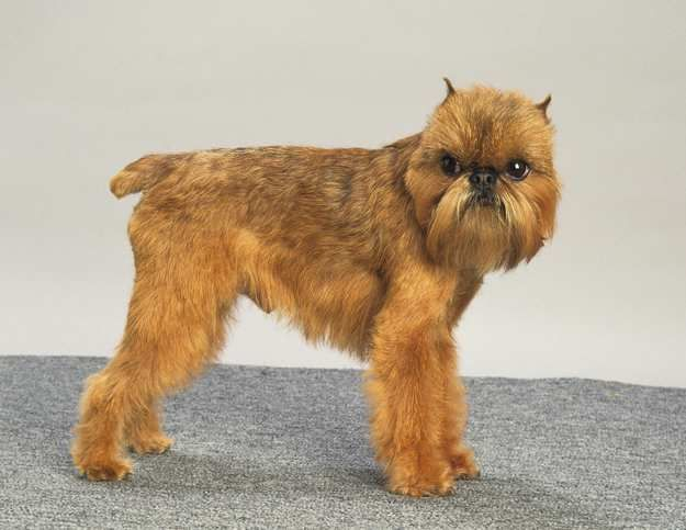 The Brussels Griffon 17 Lovely Small Dog Breeds That Don T Shed Tiny Dog Breeds Cute Small Dogs Dog Breeds