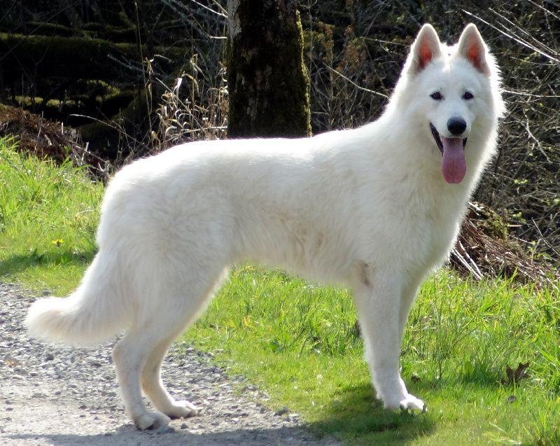 Favorit berger blanc suisse | Chiens | Pinterest | Berger blanc, Berger  RV82