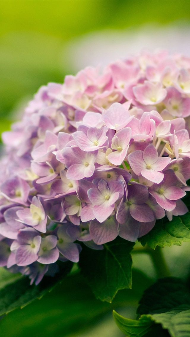 Hydrangea Flowers Close Up Iphone Wallpaper 640x1136 Iphone 5 Flowers Photography Wallpaper Hydrangea Flower Flower Close Up