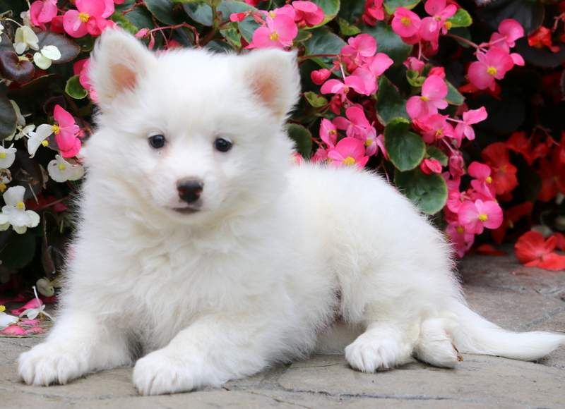 Snowball American eskimo puppy, Puppies for sale, Puppies