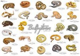 14 Species Of Boas And Pythons Amazing Constricting Snakes Ball Python Morphs Ball Python Pet Ball Python Colors