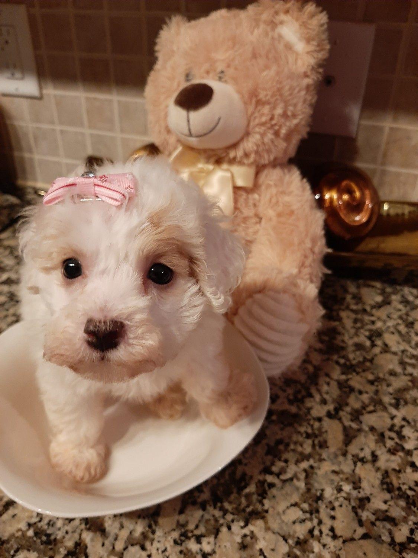 Maltipoo Puppies For Sale Houston Tx In 2020 Maltipoo Puppy