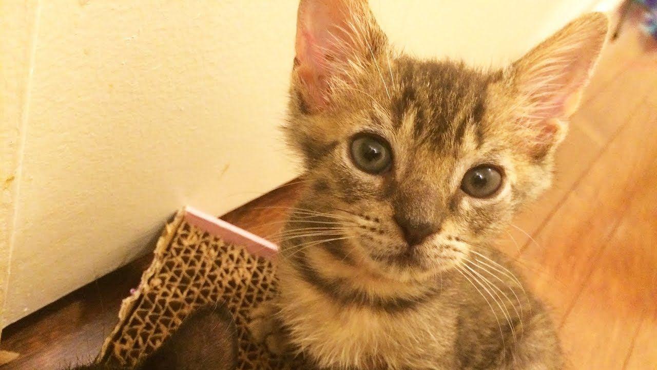 Tabby Kitten Wants To Play Youtube Cute Kitten Gif Foster