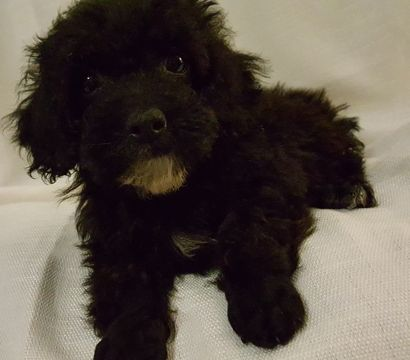 Poodle Miniature Puppy For Sale In Neosho Mo Adn 39705