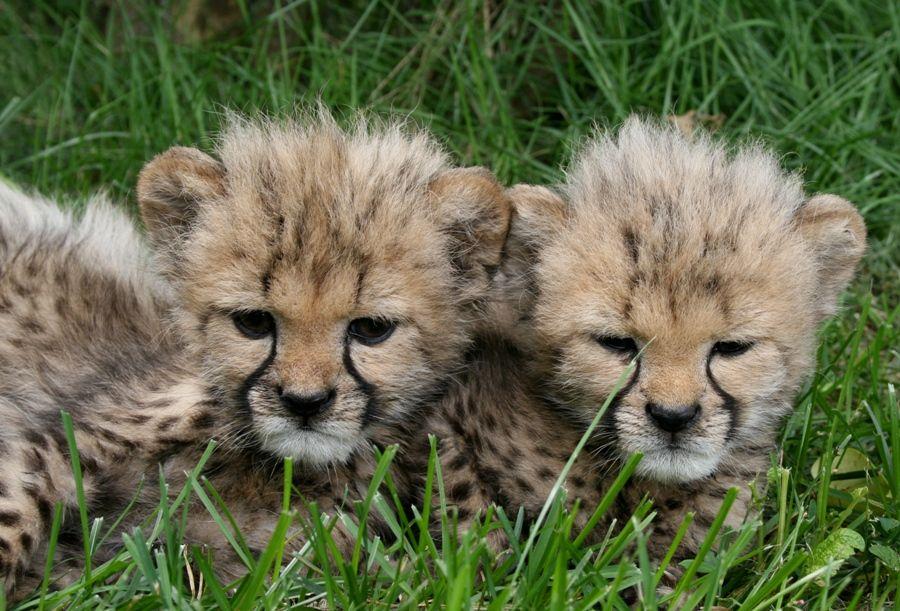 Pin by Megan Real on Animals Cheetah cubs, Lion, Cheetahs