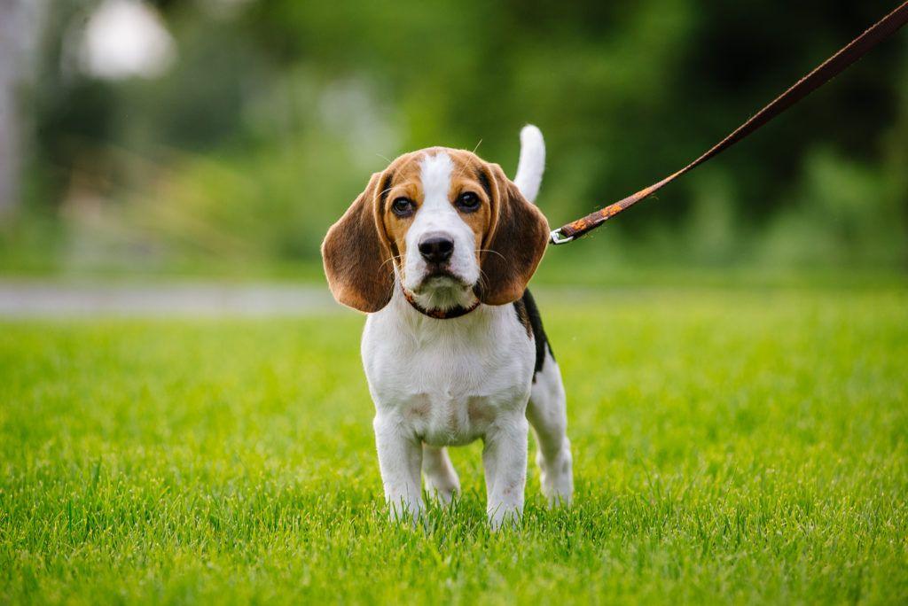 Do Beagles Shed Beagle Dog Dog Breeds Bulldog Breeds