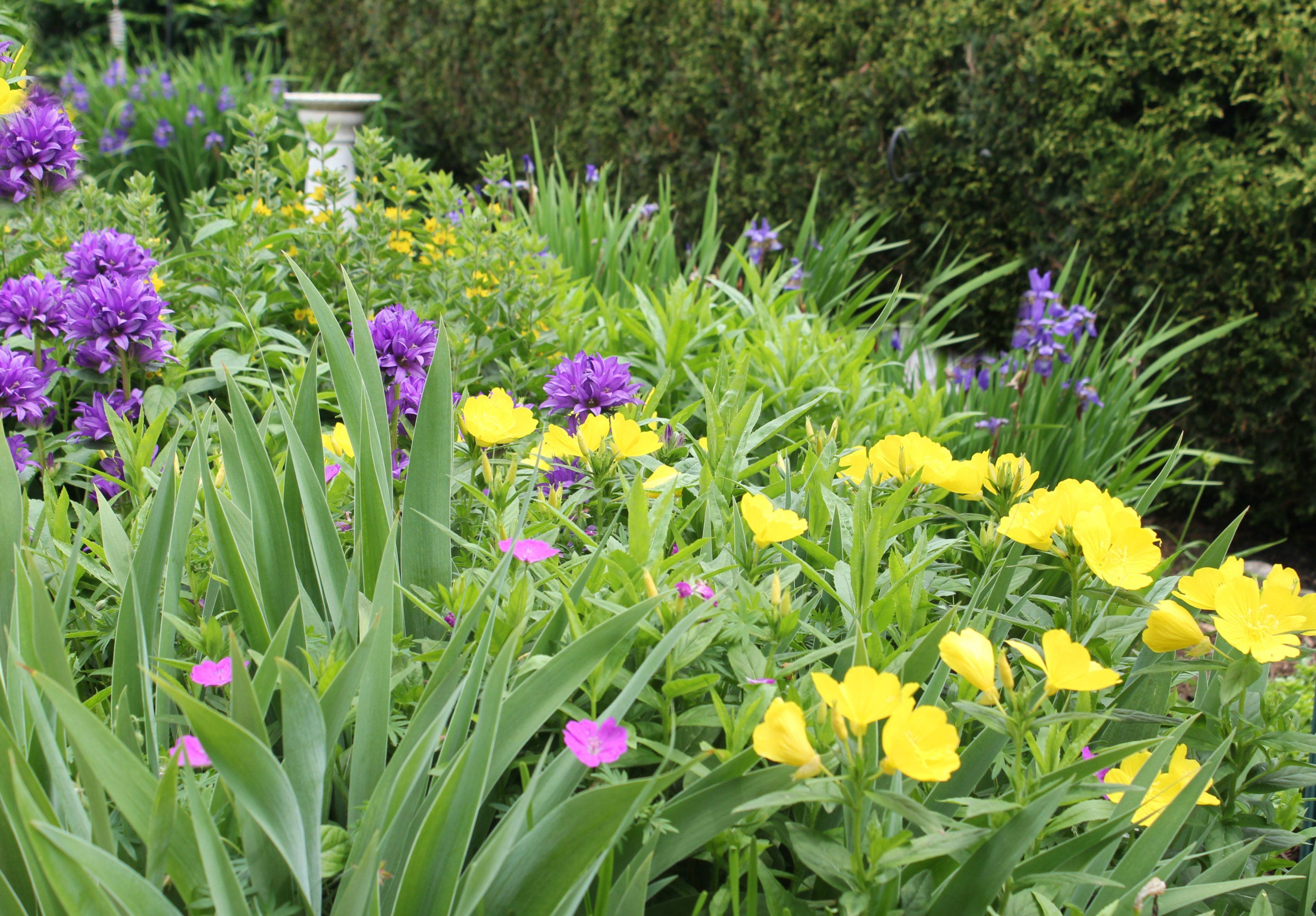 Hillside Garden With Suncups Wild Geranium Purple Bell Flowers