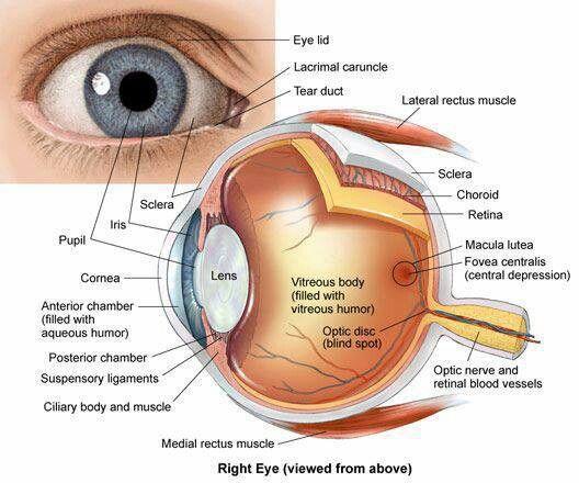 Eye Anatomy | Education: Anatomy Physiology | Pinterest | Eye ...
