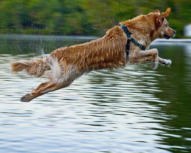 Golden Leap Golden Golden Retriever Rescue Animals Betty White