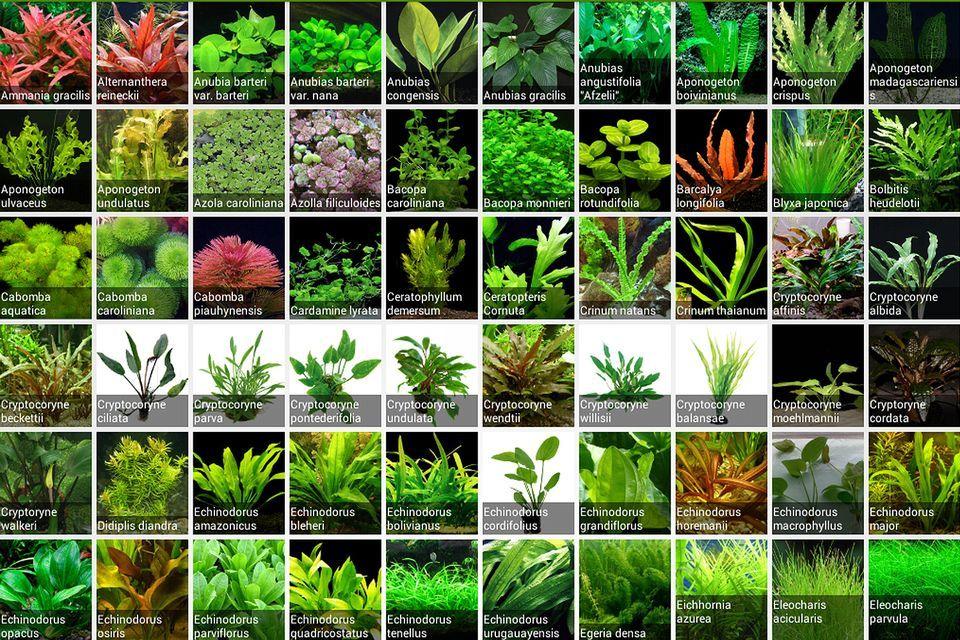 Learn The Proper Lighting For Live Plants In Community Aquariums Freshwater Plants Freshwater Aquarium Plants Fish Tank Plants