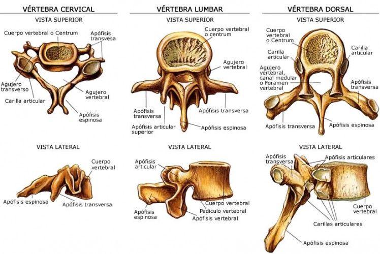 Columna vertebral: una obra de ingeniería http://blgs.co/p9KVgJ ...