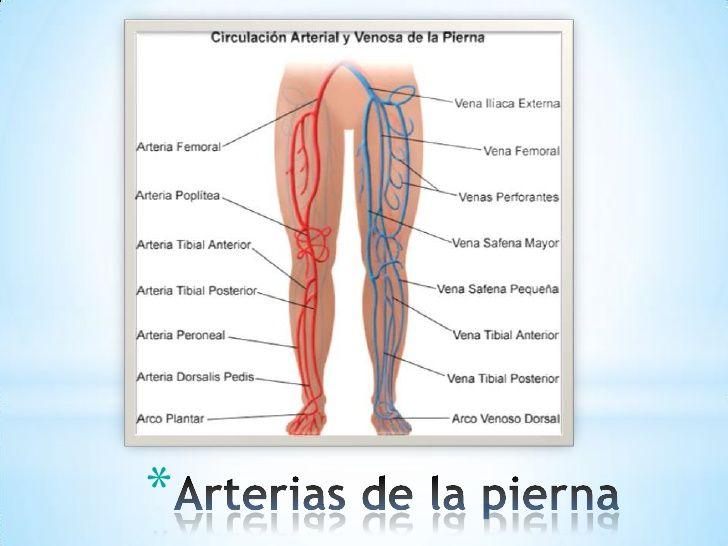 Arterias y venas miembros inferiores | Anatomía para el movimiento ...