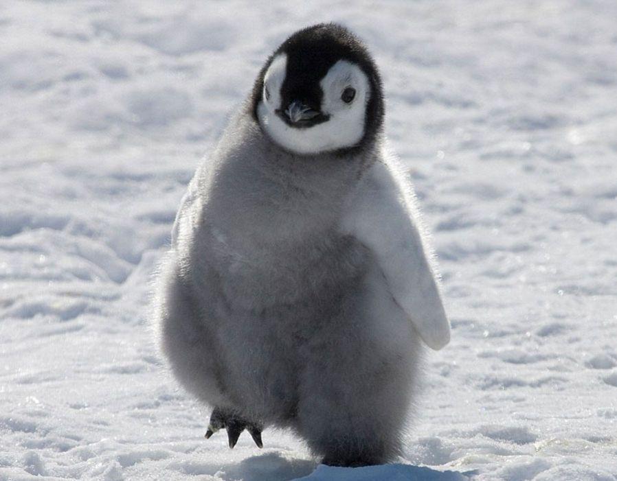Penguin Chick Emperor Penguins Only Live On Frosty