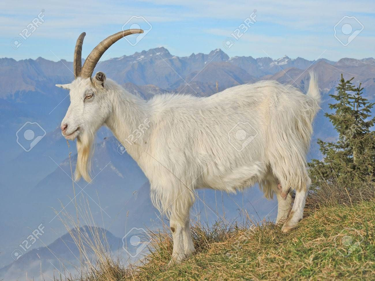 Stock Photo Goats, Animals of the world, Animals