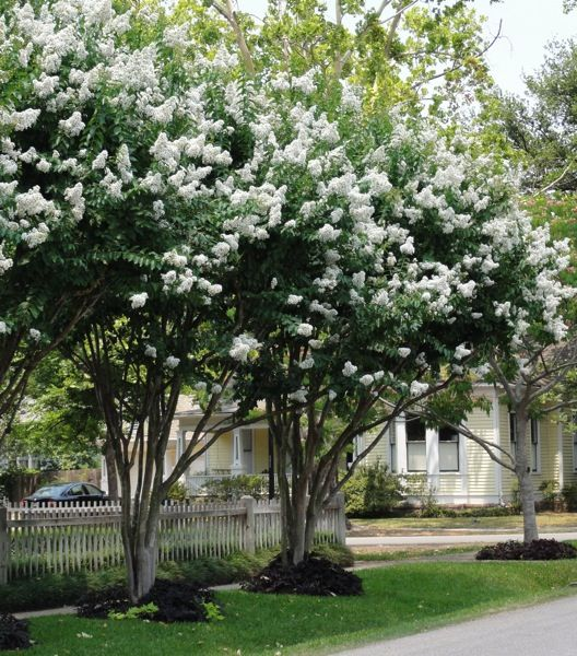 Natchez Crape Myrtle S Panicles Of Pure White Flowers Bloom All