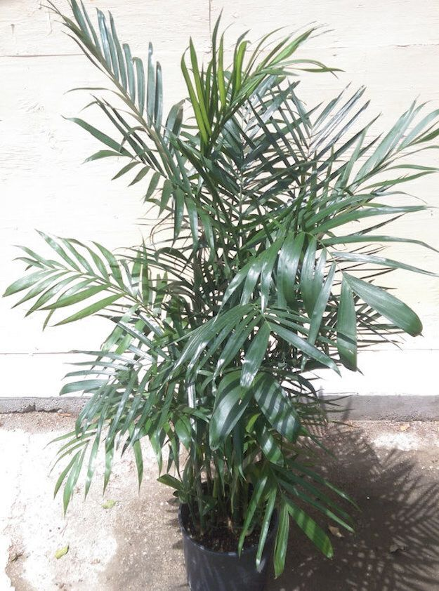 Bamboo palm (Chamaedorea seifrizii) Plants, Houseplants