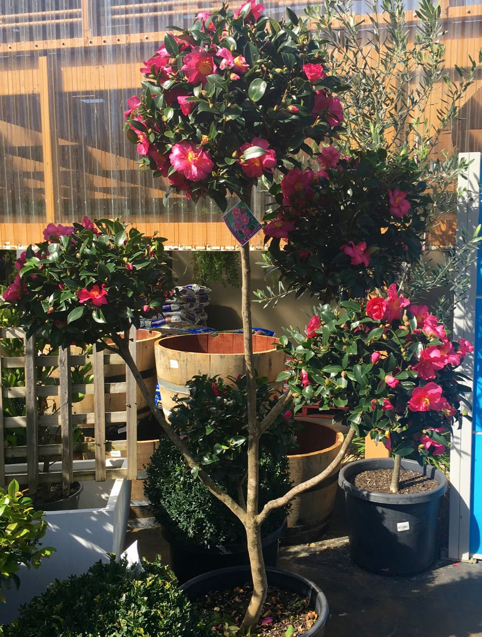 Wondering Whether Camellias Are Worth The Bother The Cliche Of Camellia Is That It S A Garish Flower With Br Hedges Landscaping Evergreen Hedge Garden Hedges