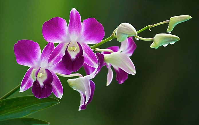 Thai Orchids Beautiful Orchids Orchid Flower Orchid Plants