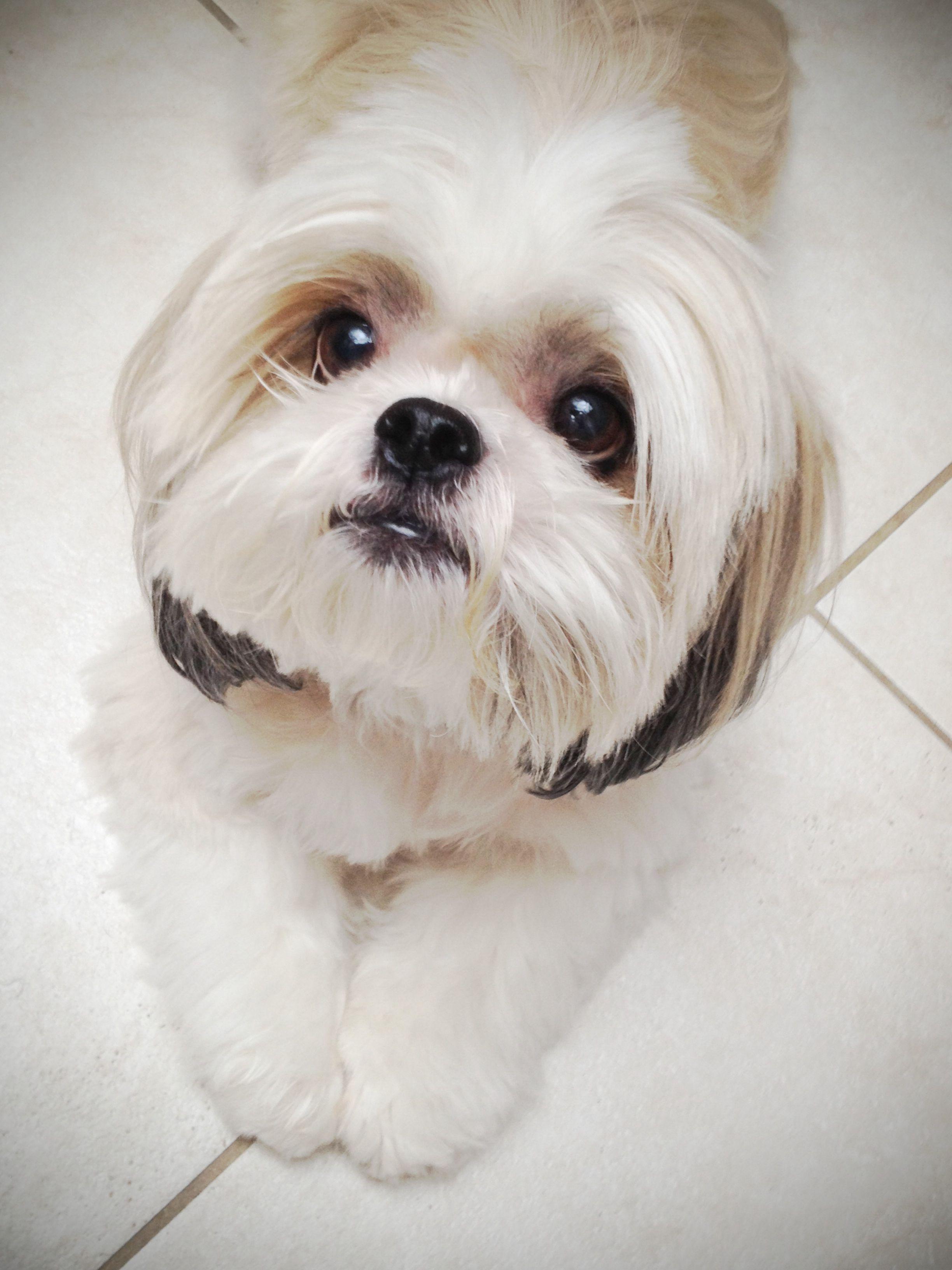 70 Shih Tzu Criado Exclusivamente Para Ser Un Perro De Compania El Shih Tzu Dog Breeds That Dont Shed Shih Tzu Dogs