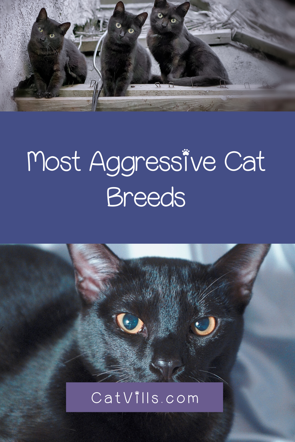 7 Most Aggressive Cat Breeds Catvills In 2020 Cat Breeds Hybrid Cat Best Cat Breeds