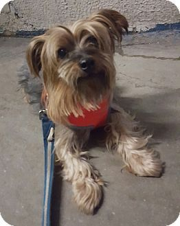 Bronx, NY Yorkie, Yorkshire Terrier. Meet Nugget, a dog