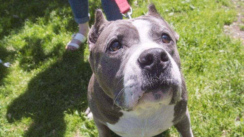Nova Scotia Dog Rescue Group To Take Pit Bulls Now Banned In