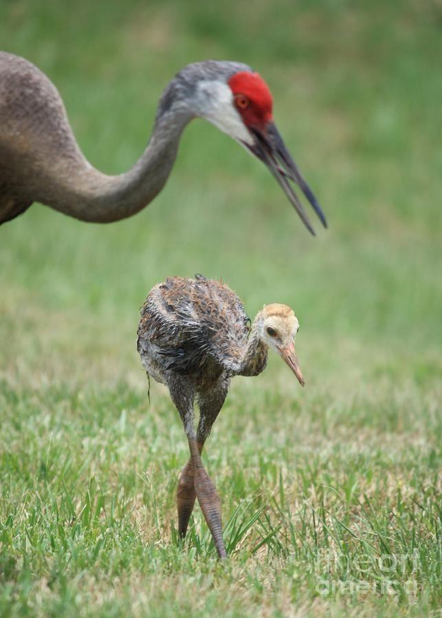 Sandhill Crane National Wildlife Federation >> Mama And Juvenile Sandhill Crane By Carol Groenen Birds Cranes
