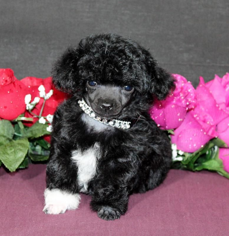 Teacup Puppies For Sale Teacup Poodle Puppies For Sale In