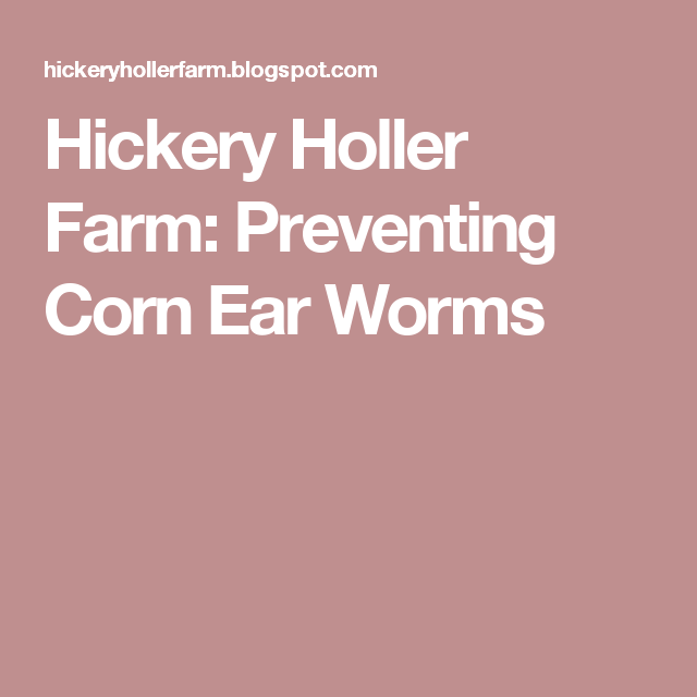 Preventing Corn Ear Worms With Images Apple Pies Filling Canning Sweet Potatoes Canning Recipes