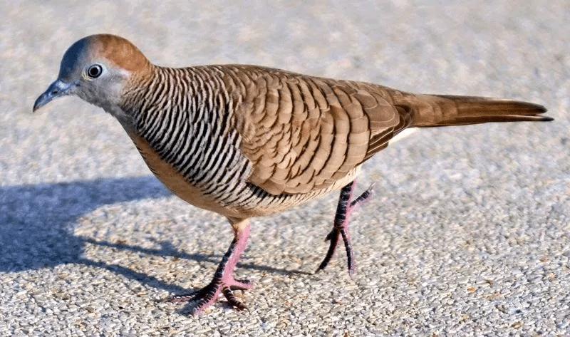 Inilah Cara Menjinakkan Perkutut Dengan Air Hangat Burung Binatang Hewan