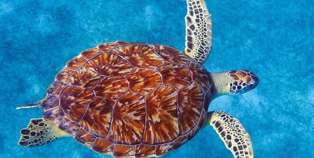 Green Sea Turtle Burke Museum Sea Turtle Shell Turtle Sea Turtle