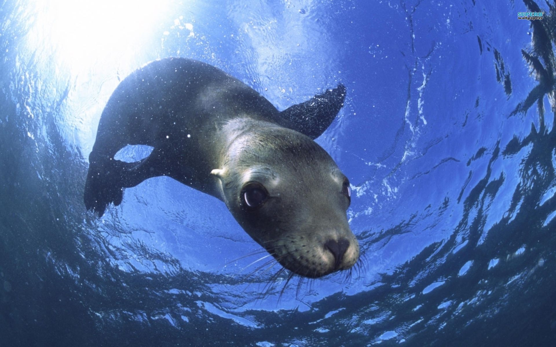 Sea lion wallpaper