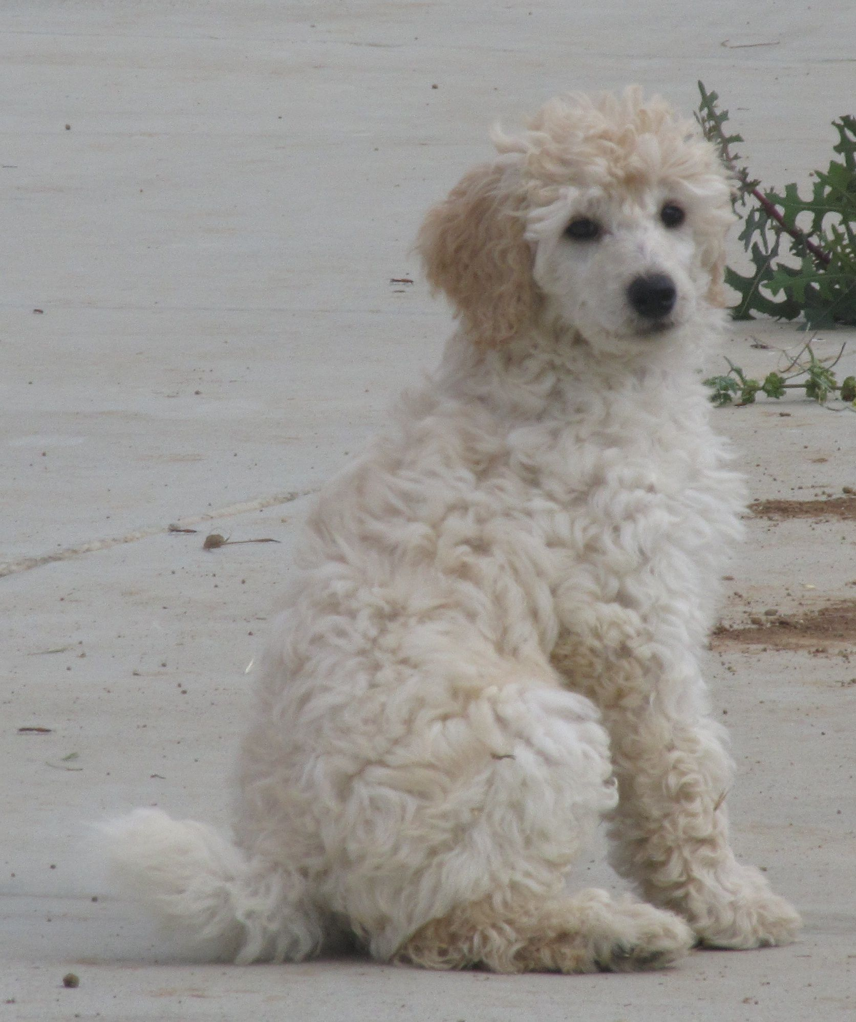 A Moyen Klein Small Standard Poodle Similar To My Own Special