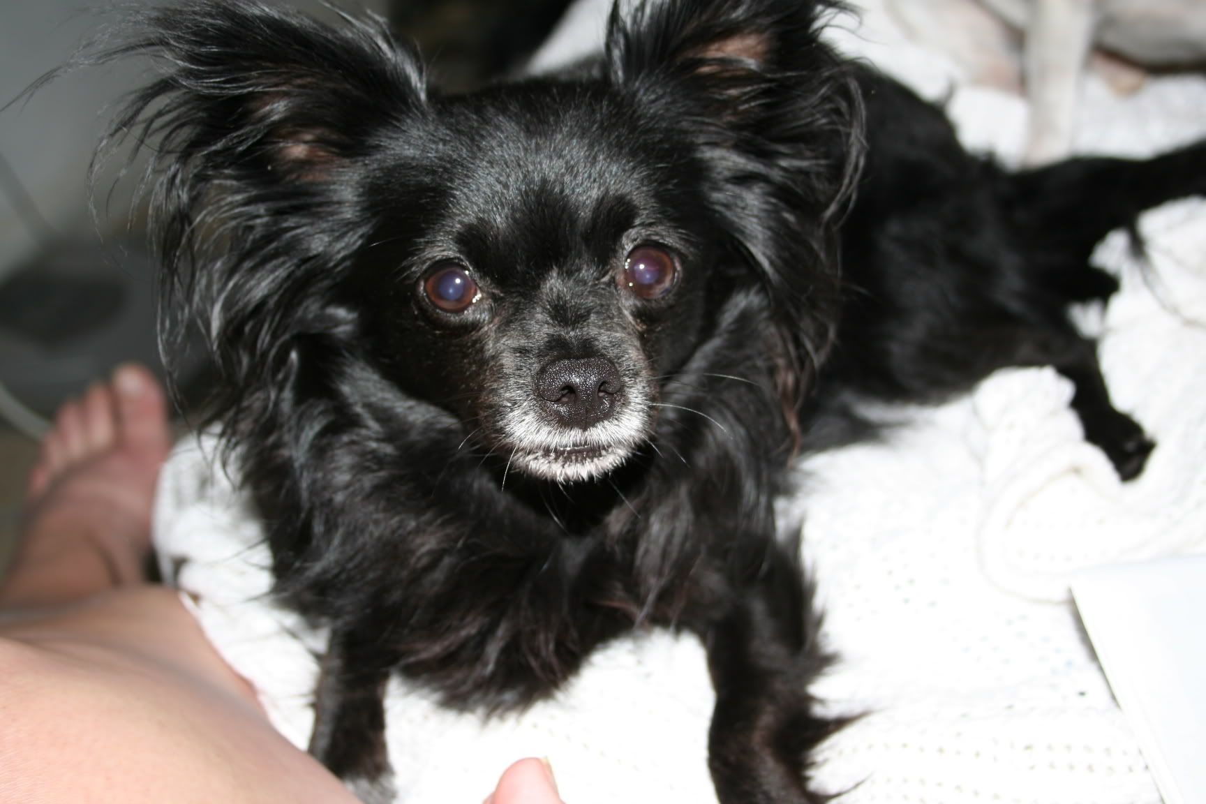 Black Long Hair Chihuahua My Zoey S Twin Long Haired