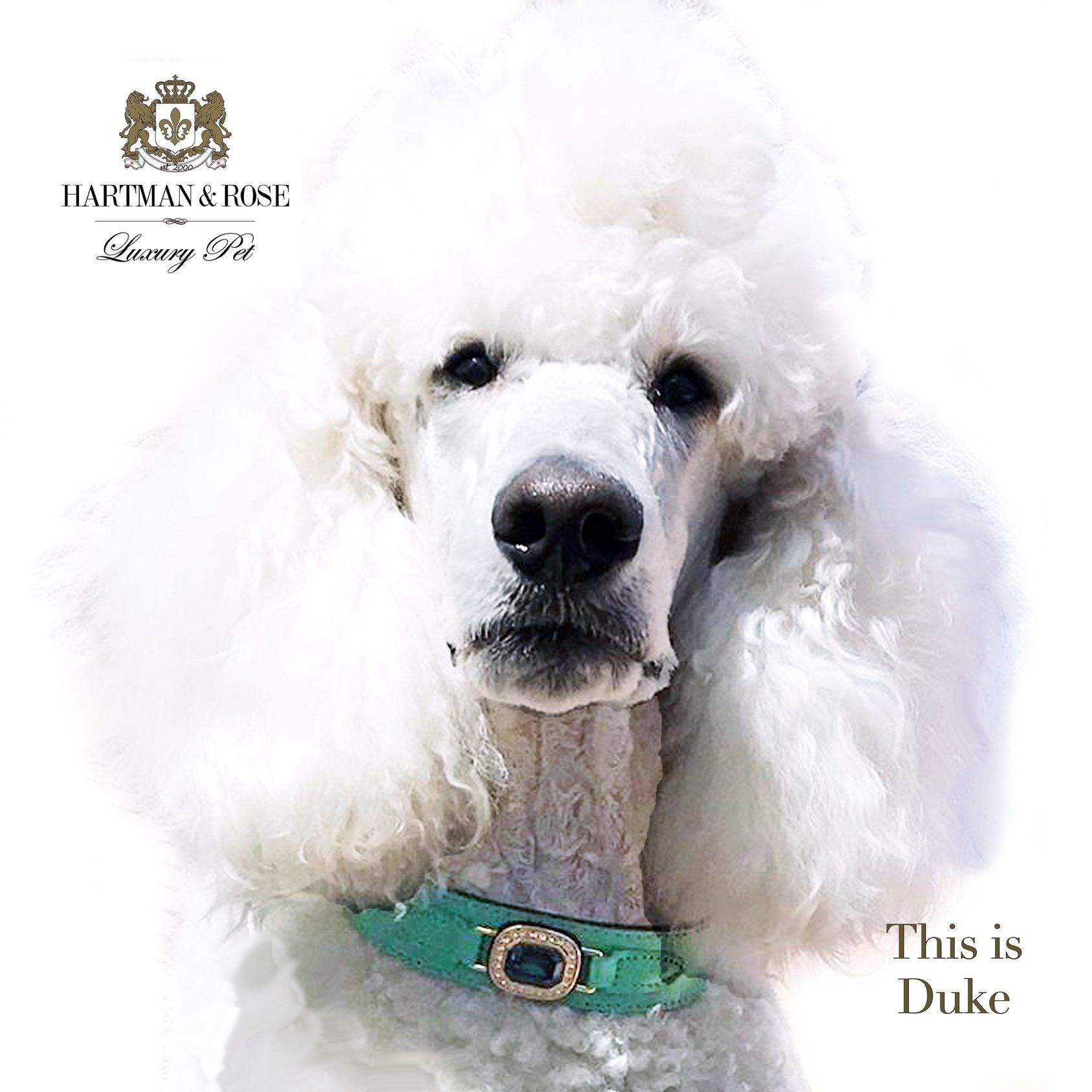 Only 32 Days until Christmas. Duke knows that means that holiday shopping is here. SAVE 30% use code: HOLIDAYSAVINGS Handsome Duke the Standard Poodle is wearing the Haute Couture Octagon collar in Kelly Green, Emerald & Gold. All collars & leads are custom made to order. @hartmanandrose #hartmanandrose @duke_thepoodle