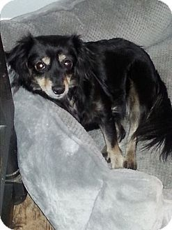 Dothan Al Dachshund Chihuahua Mix Meet Freckles A Dog For