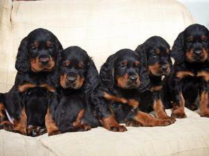 Pedigree Kc Registered Gordon Setter Puppies In Dursley