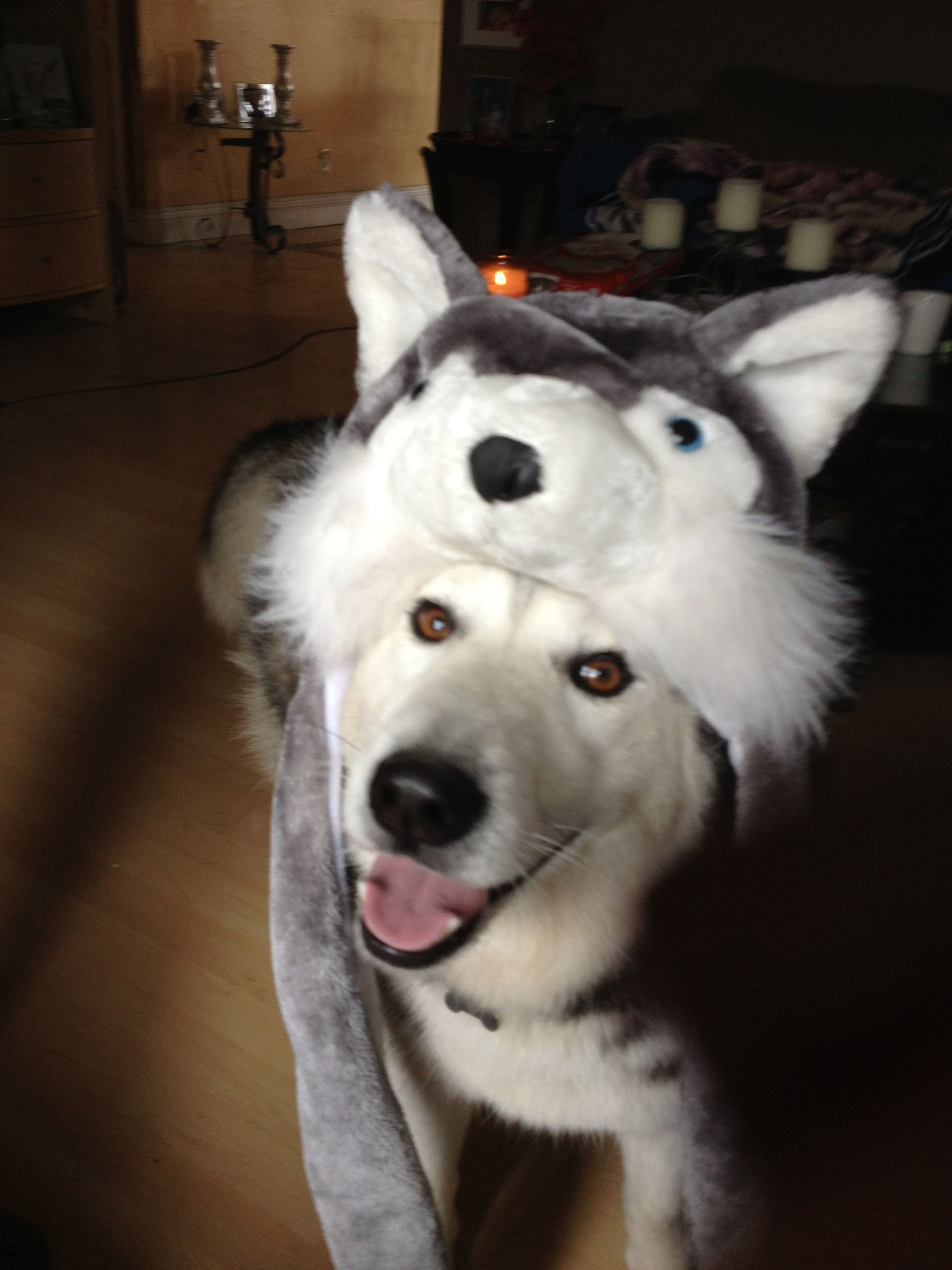 Siberian Husky Wearing Himself Sooo Cute 3 We Bought The Same