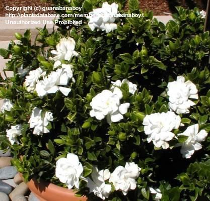 Gardenia Veitchii Blooming During Unusually Warm May Gardenia