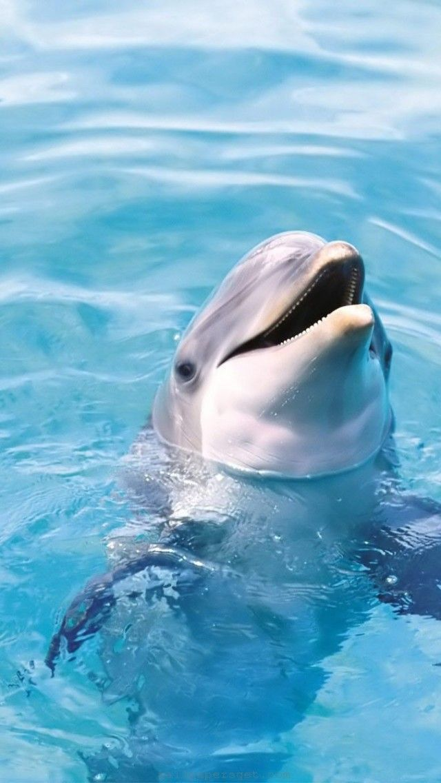 Dolphin HD Iphone Wallpaper Free Download Wallpaper For Your | iPhone wallpapers