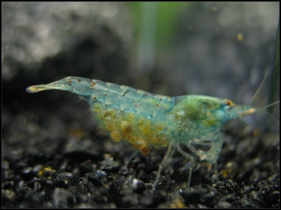 Pregnant Neocaridina Cf Zhangjiajiensis Var Blue Shrimp Prawn Shrimp Blue Shrimp Shrimp