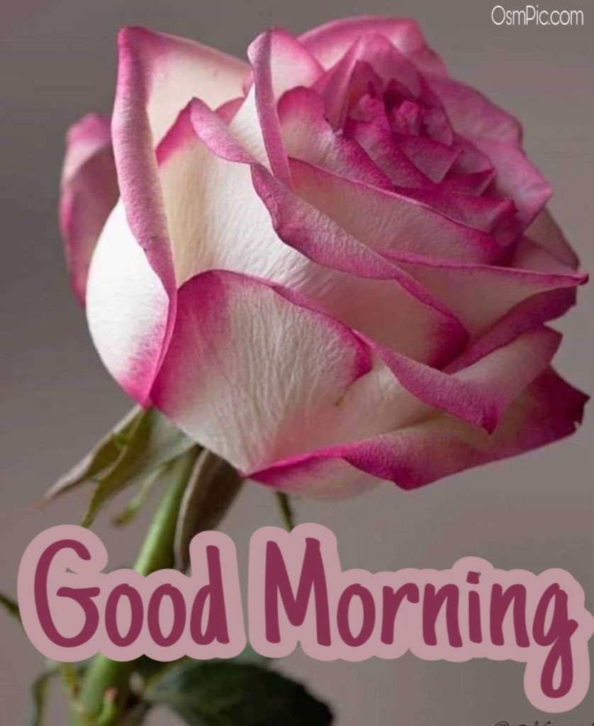 55 Good Morning Rose Flowers Images Pictures With Romantic Red Roses Good Morning Roses Morning Rose Good Morning Rose Images