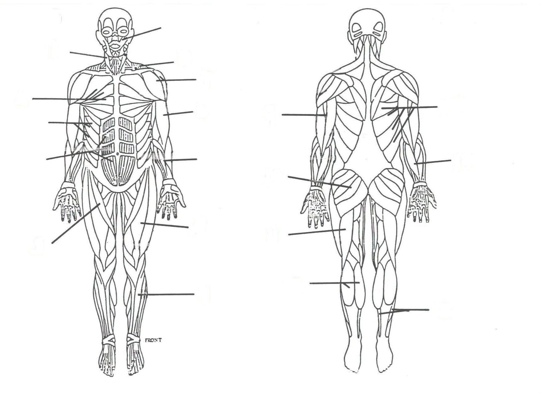 Human Skeleton Diagram Without Labels Human Anatomy Organs