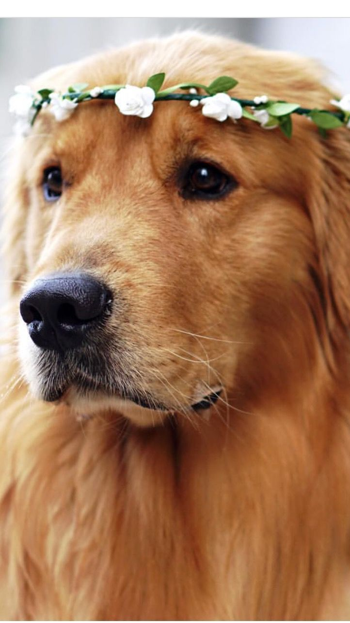 4 Simple Tips For Dog Grooming At Home Dogs Golden Retriever Retriever Puppy Golden Retriever